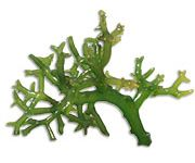 by-cosmetics Spinosum Seaweed
